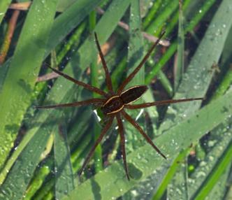 SWT fen_raft_spider_martin_smith_small