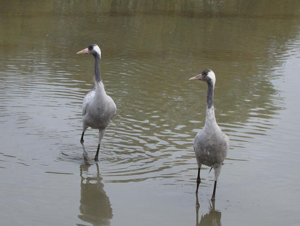 Common-Cranes-EWC