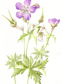 saturday_meadow_cranesbill