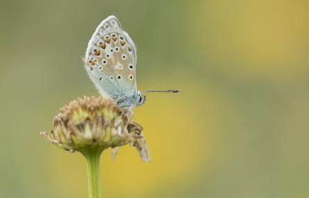 common_blue_butterfly-72183